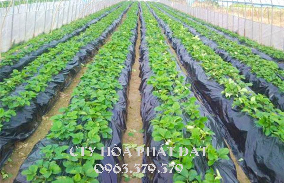 màng-nông-nghiệp-phủ-đất-trồng-cây
